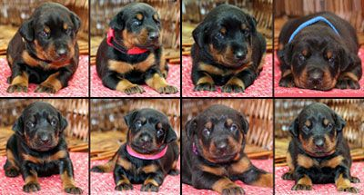 doberman puppies for sale - european bloodlines - www.sierradobiefarms.com