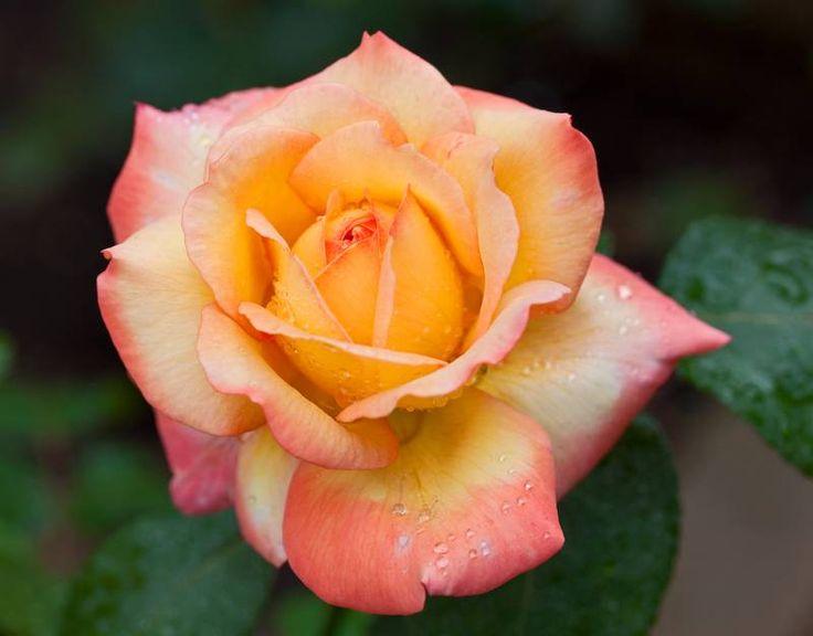 Роза Peace (Gloria Dei, Gioia) прекрасный кустарник для вертикального озеленения больших участков. В английском языке эта роза имеет название Peace (Пис), в немецком она называется Gloria Dei (Глория Деи), в итальянском ее название звучит как Gioia (Джойя) Раскидистый куст розы с небольшим количеством шипов вырастает до 2 метров, неприхотлив, хорошо поддается разведению. Крупные, махровые, одиночные цветки до 13-15 см в диаметре имеют золотистую окраску с широкой карминовой окантовкой…