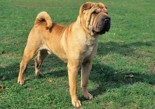 Chinese Shar-Pei Dog Breed Information (reminds me of lulu, my first)