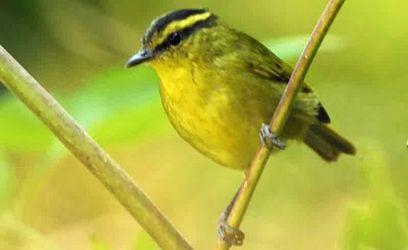Perawatan Burung Pare-Pare | Budidaya