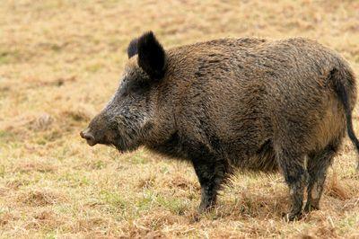 wild hog- yes,,precious!