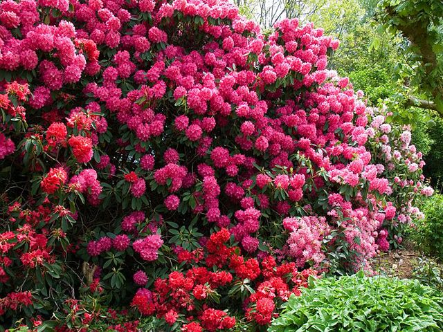 Best Rhododendrons Images On Pinterest Flowers Flowers