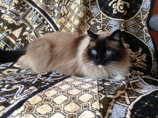 A Beauty Beautifulcats Beautiful Cats Rag Dolls Baby Cats Ragdoll Cat Cats