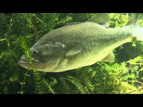 How To Fish a Senko - Texas Rigged Senko Bass Fishing Tips - YouTube
