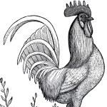 Public Domain Rooster Image!