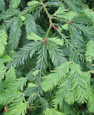 Sequoia sempervirens (Coast Redwood), Edinburgh Botanic Garden, photo by Tim Bekaert