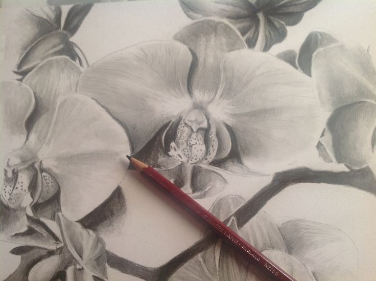 Orchid in pencil on a4 Bristol board ((c) ally Tate 2014)
