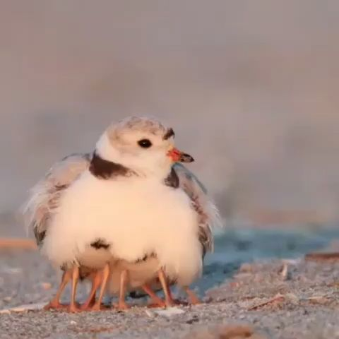 Piping Plover mom of 4 babies