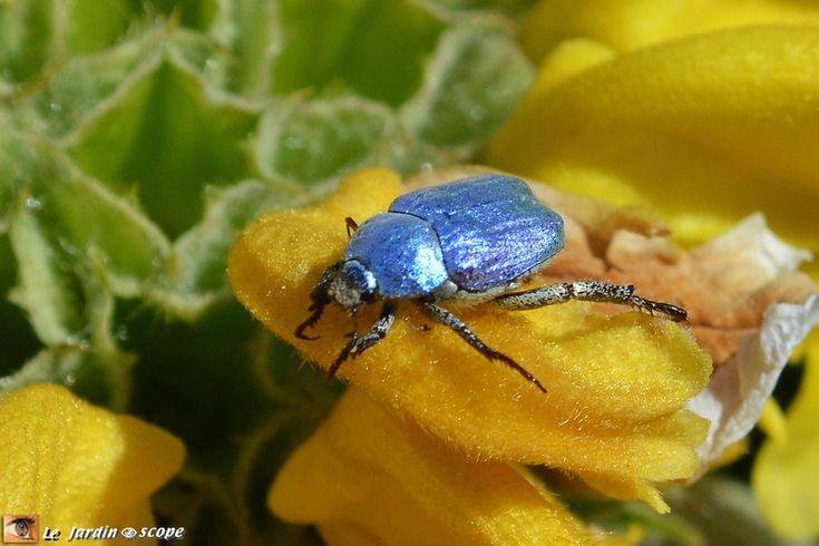 Ce petit scarabée bleu est un vrai bijou...