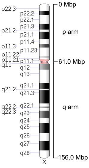 3) X Chromosome