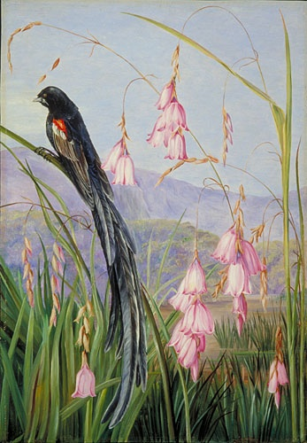Pendulous Sparaxis and Long-tailed Finch in Van Staaden's Kloof Location: South Africa, Van Staaden's Kloof Plants: Dierama pulcherrima. Marianne North. Kew Gardens