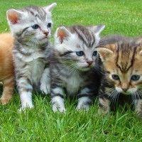 #dogalize Comida gato pequeño: todo sobre la dieta felina #dogs #cats #pets