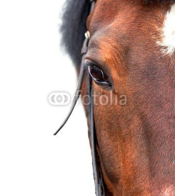 Bay Horse Close Up On A White Background Wall Mural