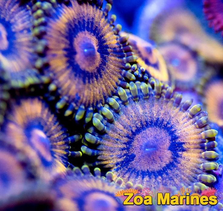 Zoa 'Untouchable' 1-3 Heads. Stunning Corals! http://www.zoamarines.co.uk   #coralfrag #marineaquarium #saltwateraquarium #reefkeeping #frag #saltwatertank #coral #frags #reefswuarium #corals #reeftank #marinetank #marine