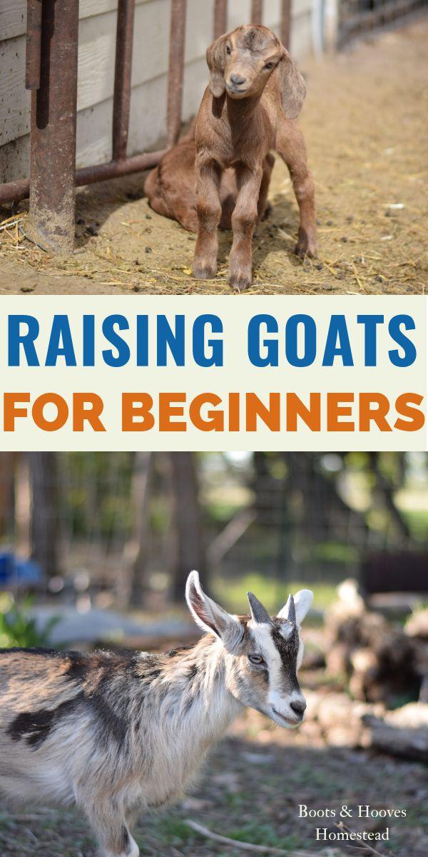 Raising Goats for Beginners | Raising goats, Goats, Goat ...