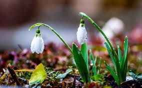 Image result for snowdrop flowers