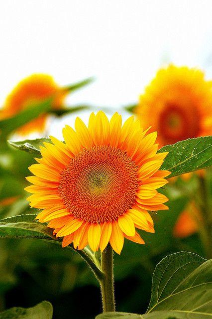 Good Morning Orange Flowers : Best good morning quotes images on pinterest