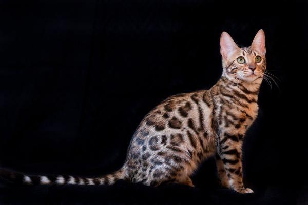 5 Reasons Why Your Bengal Cat Is So Small Katzen Rassen Katzen