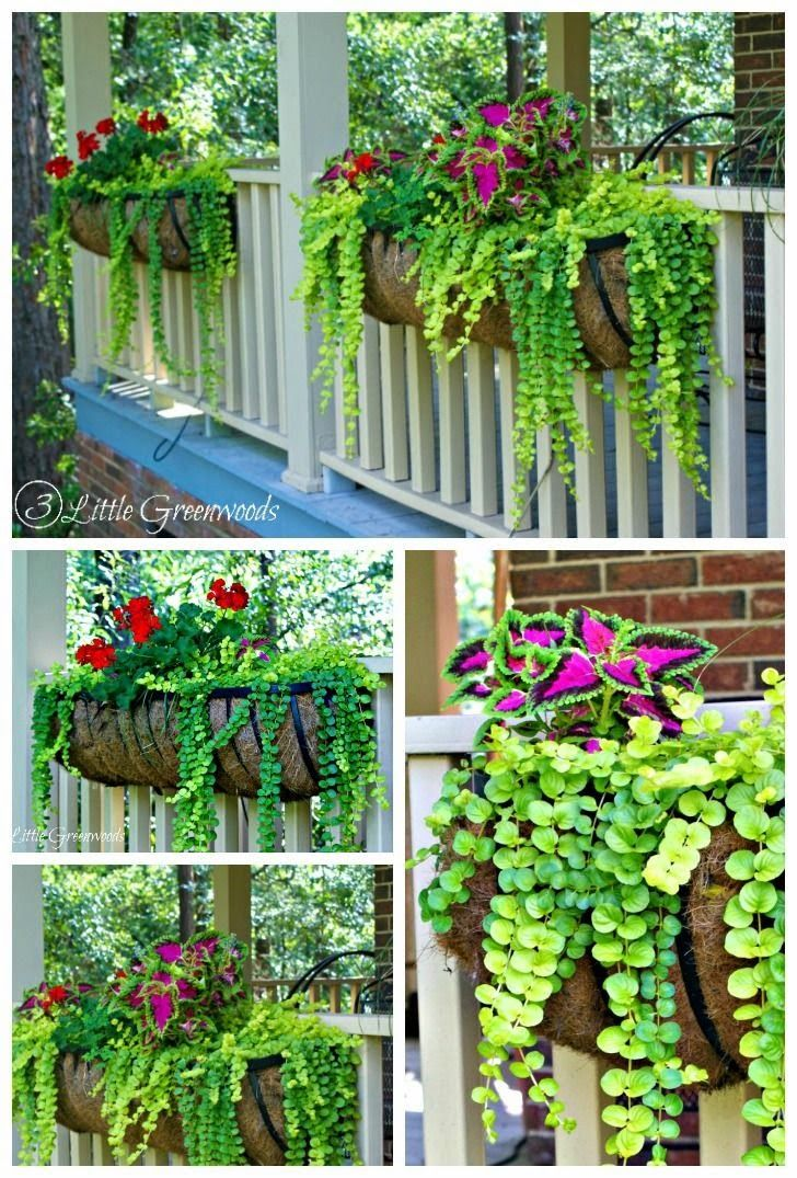 DIY Crafts: MUST read post for choosing The Easiest and Best Plants for Hanging Baskets by 3 Little Greenwoods! #DIYflowerBasket #hangingflowerbaskets #bestplantsforhangingbaskets