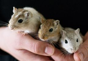 Hamsters and gerbils are one of the first small pets we own in our lives. Many of us had one or mo...