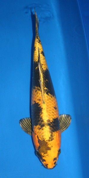 1000 images about koi ki utsuri on pinterest jets for Yellow koi fish
