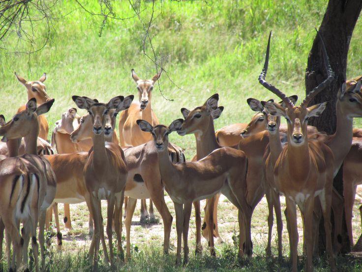 The beautiful polygamous setting of the Impalas.