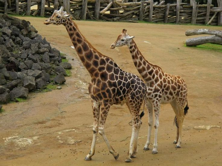 Auckland - Giraffes at Auckland Zoo