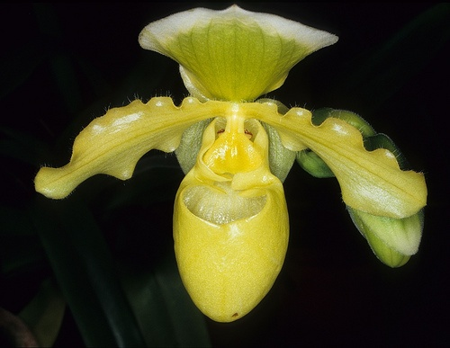 Yellow orchid in Brazil photographed on Kodachrome 64 by Derek Keats, via Flickr
