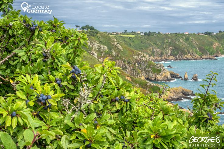 On my Sunday afternoon stroll on the paths above Saints Bay spotted a good crop of Sloe Berries for you Sloe Gin makers out there! #LocateGuernsey Link to the whole collection of 'Georgie's Guernsey':-http://chrisgeorge.dphoto.com/#/album/4daaes Picture Ref: 30_07_17 — in Guernsey.