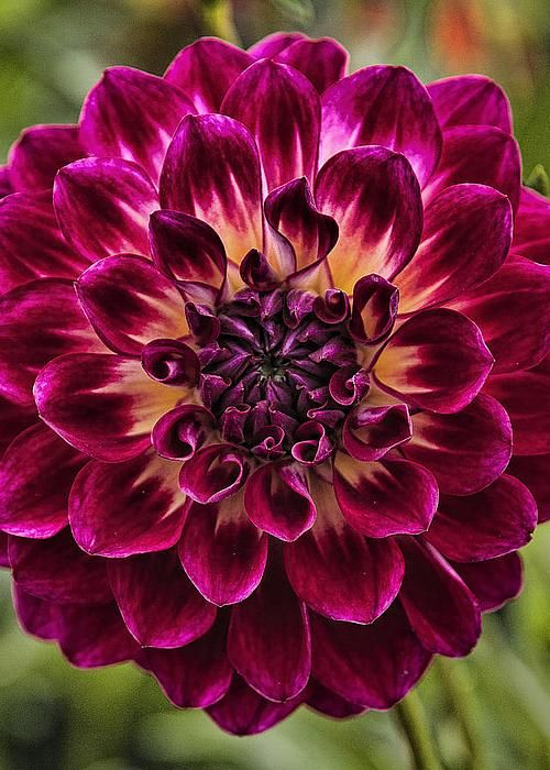 Dahlia by Wes and Dotty Weber