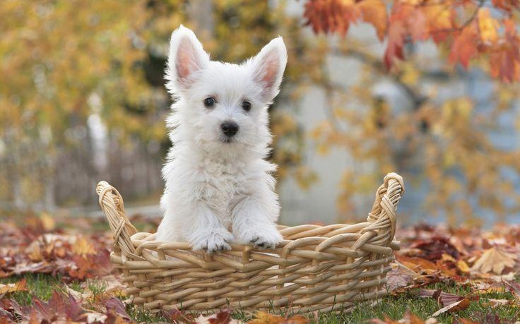 корзина, собака, Terrier puppy