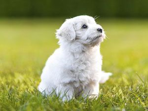 By Cesar Millan People often ask me at what age they should start puppy training. The answer is immediately! Here are some quick tips on the steps to training and maintaining an obedient and balanced dog from the start.