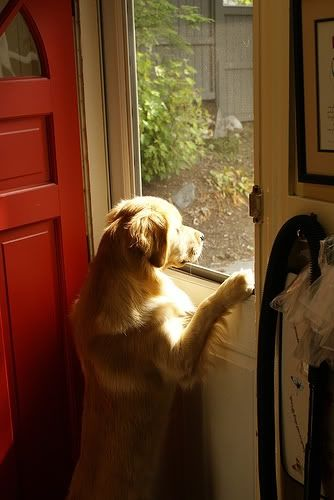 Please take me along.: Cats, Puppies, Life, Sweet, Window, Pet, Friends Dogs, Animal, Golden Retriever