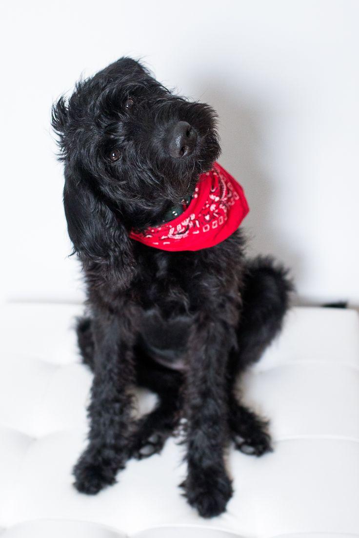 disney, the black labradoodle puppy