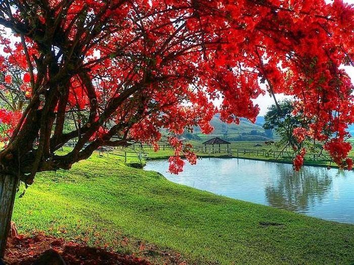 Ipê Quando chega a primavera, nossa linda e imponente árvore-símbolo vem, com…