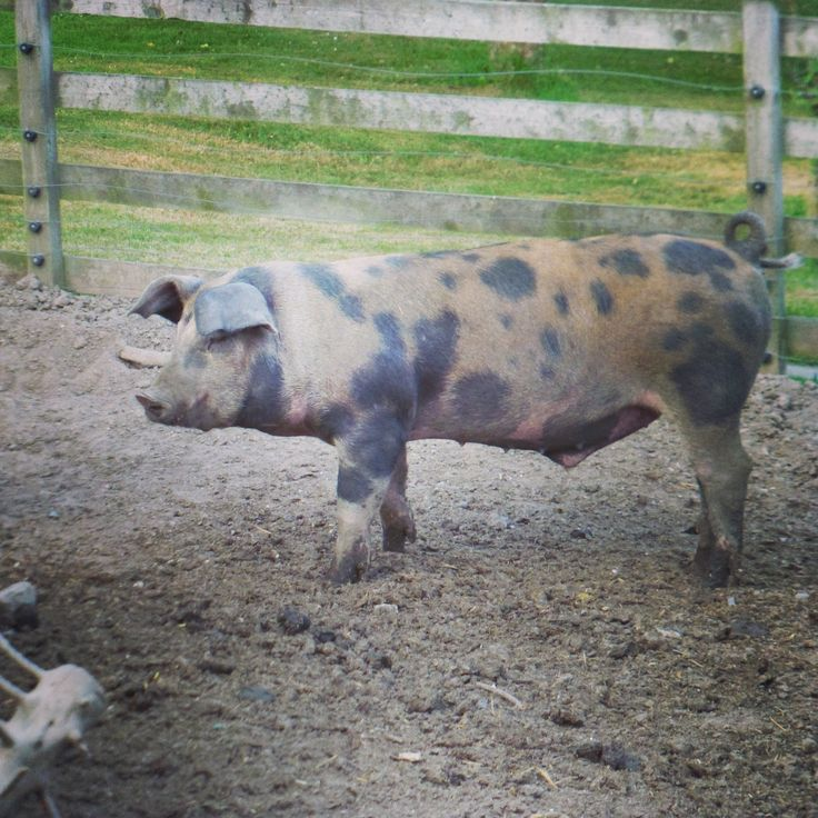 Jeg elsker farverne på min brogede gris.