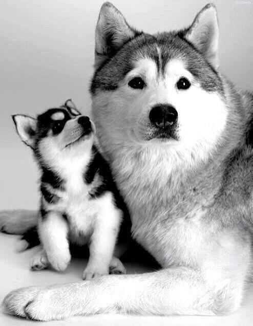 I just love Huskies. Please check out my website thanks. www.photopix.co.nz