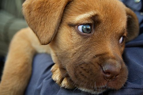 ..: Puppies Faces, Animal Pictures, Puppies Dogs Eye, Puppies Eye, Labrador Puppies, Big Eye, Labs Puppies, Beautiful Eye, Green Eye