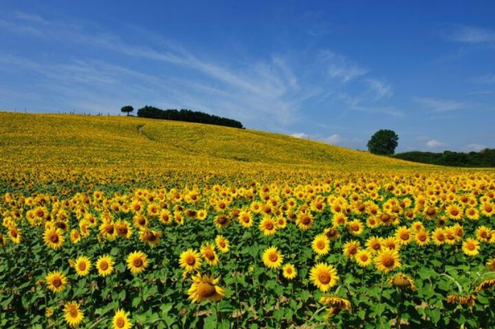 Sunflowers in Tuscany,Italy