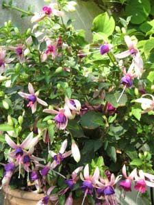 Bouturer le fuchsia  -Fuchsia en pot-  Les fuchsias sont des plantes fleuries extraordinaires, faciles d'entretien et très décoratives avec leur infinie variété de clochettes de toutes les formes et de toutes les couleurs. Apprenez à les multiplier par bouturage : succès garanti !