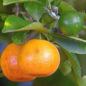 growing citrus trees in a container