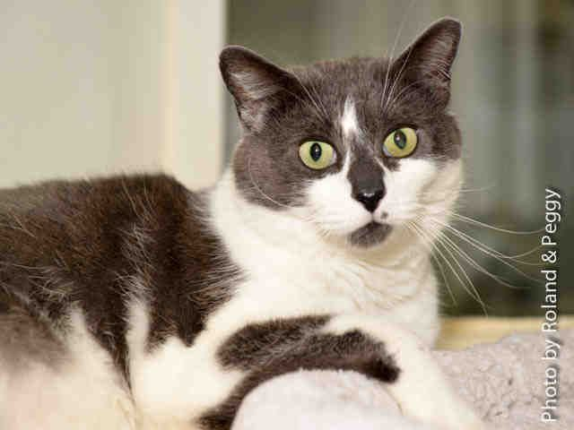 A1519661 – Tony is a mellow 7-year-old male, gray and white domestic short-hair. He enjoys getting all the attention and being the only cat. Tony's sweet disposition and kind mannerisms make him a wonderful candidate for adoption. Come meet him at Lucky Paws adoption center in Coronado Mall. www.cabq.gov/pets or call local 311