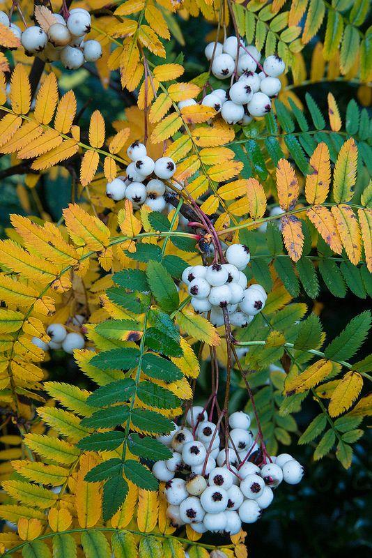 Sorbus Cashmiriana (Kashmir Rowan) in autumn