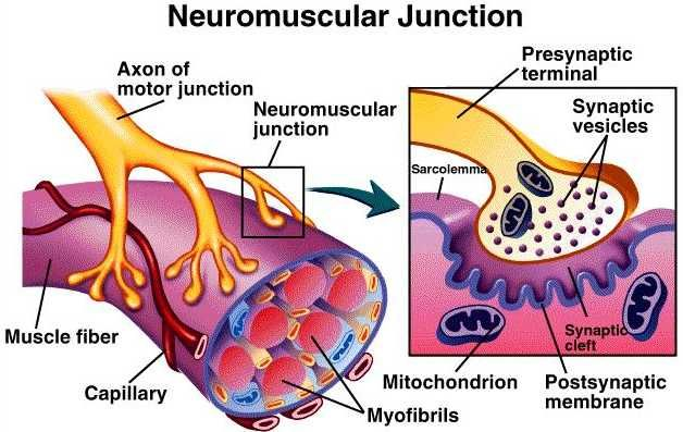 neuromuscular - Google Search