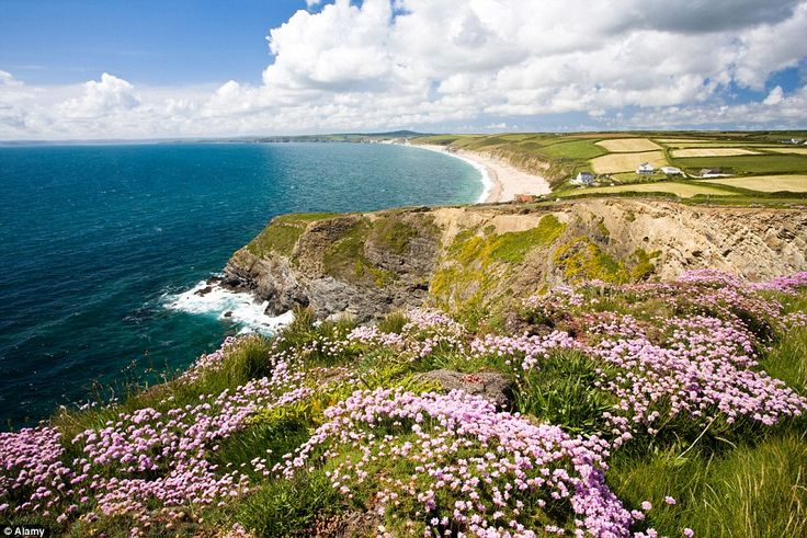 Pink Sea Thrift on Gunwalloe Fishing Cove, Cornwall, England