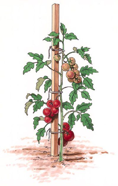 Tomato Stakes - Use strong stakes for tomato plants: 2 inches by 2 inches, about eight feet long and driven 24 inches to 30 inches deep will support most tomatoes.