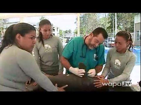 Bebé manatí rescatado en Isabela, Puerto Rico. - YouTube