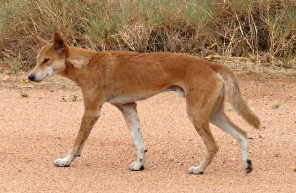 Dingo at the Devils Marbles