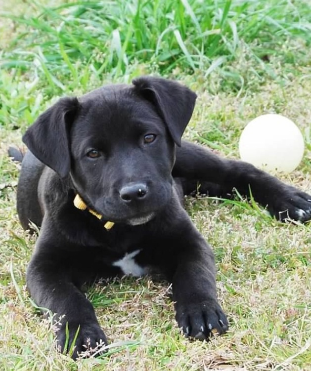 Black Lab Puppy - soon to be ours! ;)
