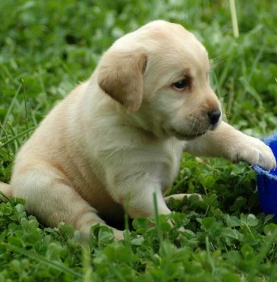 how to train a labrador puppy